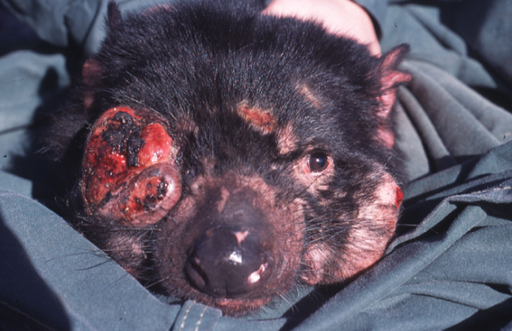 512px-Tasmanian_Devil_Facial_Tumour_Disease.png