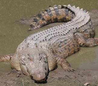 SaltwaterCrocodile.jpg