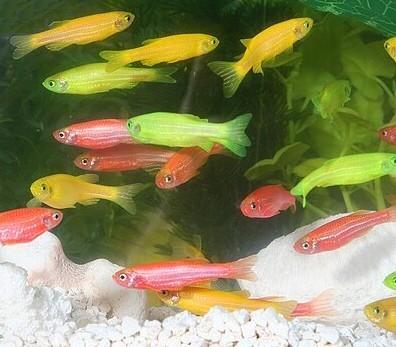 glofish_010_std.jpg