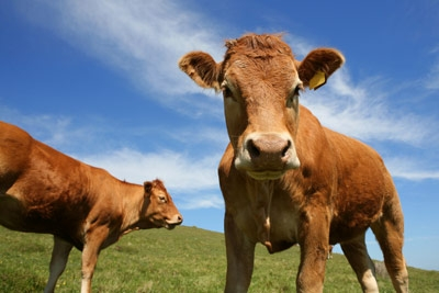 methane-cow-1.jpg