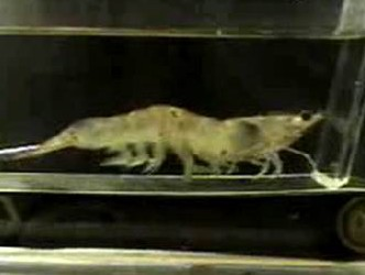shrimp-treadmill-e1306589230960.jpg