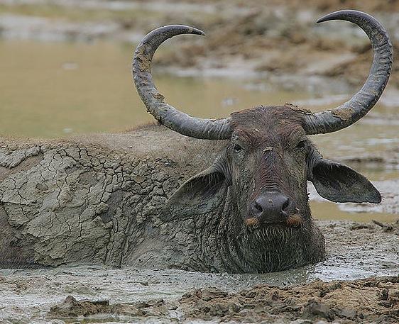 waterbuffalo.jpeg