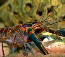 how to cook red claw crayfish