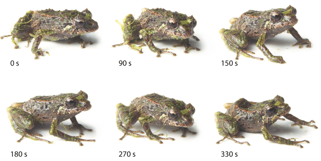 A new species of frog can dramatically transform in just for Frog transformation